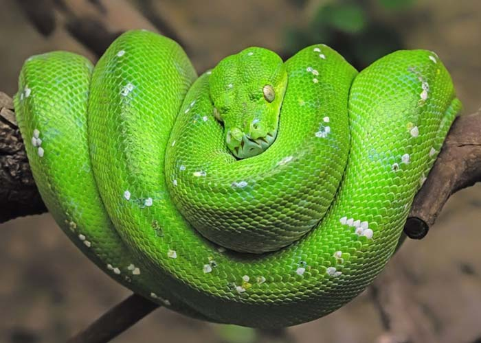 https://www.istockphoto.com/photo/macro-close-up-of-green-tree-python-with-spoil-white-mouse-gm982560254-266800972