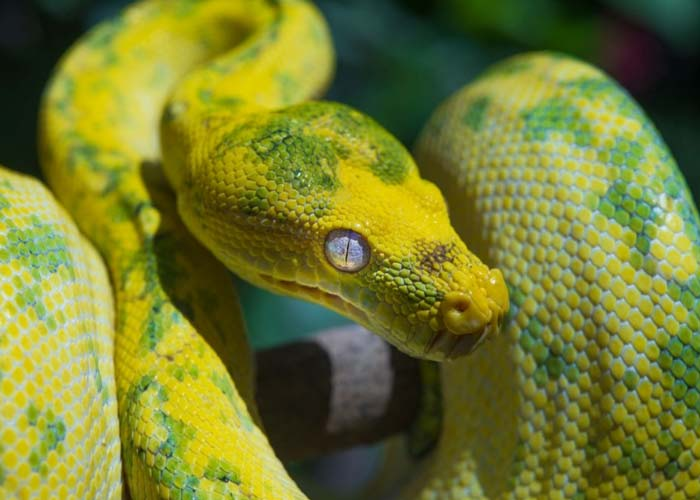 Green tree python changing color