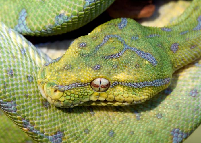 Green tree python head and different colors