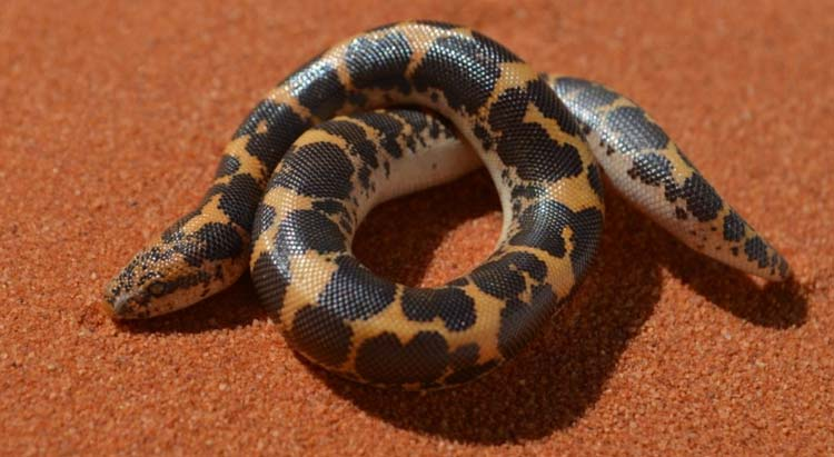 Kenyan sand boa on red sand