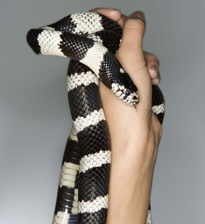 California kingsnake handling