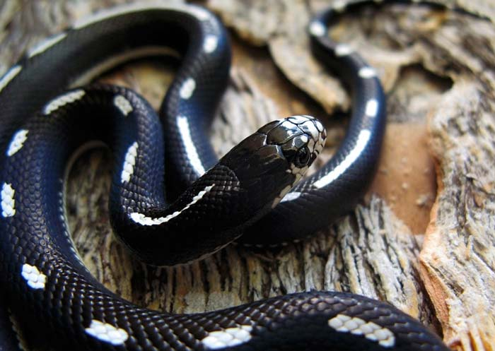 Striped California kingsnake