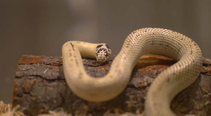 White California kingsnake