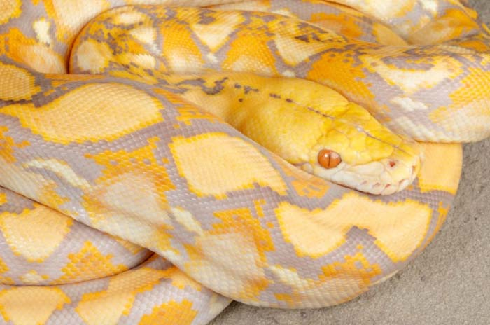 Lavender reticulated python