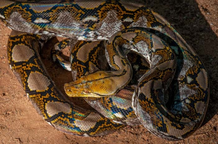 Shining reticulated python