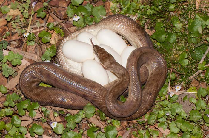 Children's python with egg clutch