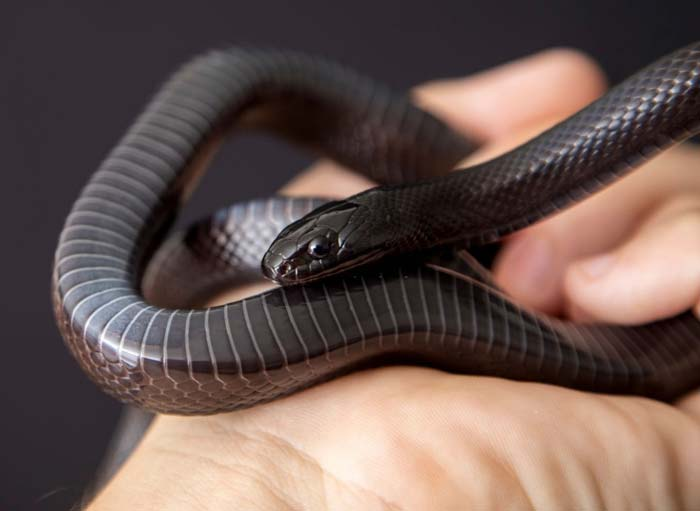 Smooth scales mexican black kingsnake