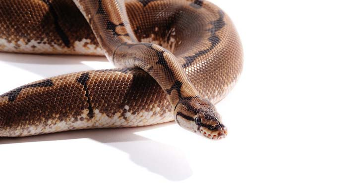 Spider ball python in white background