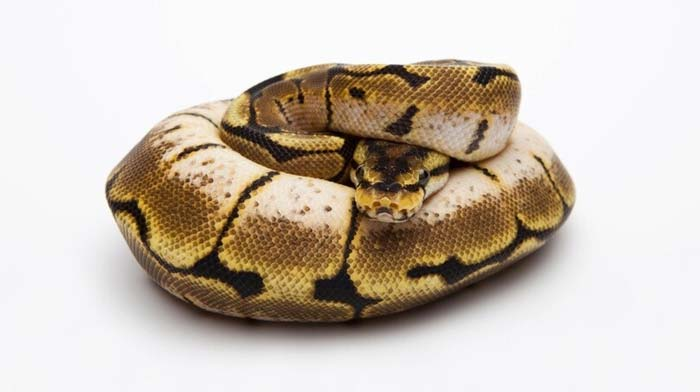 Stressed spider ball python