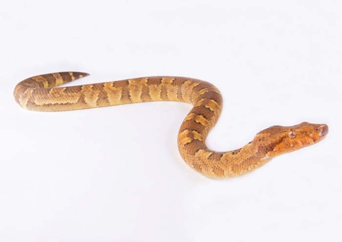 Viper boa in white background