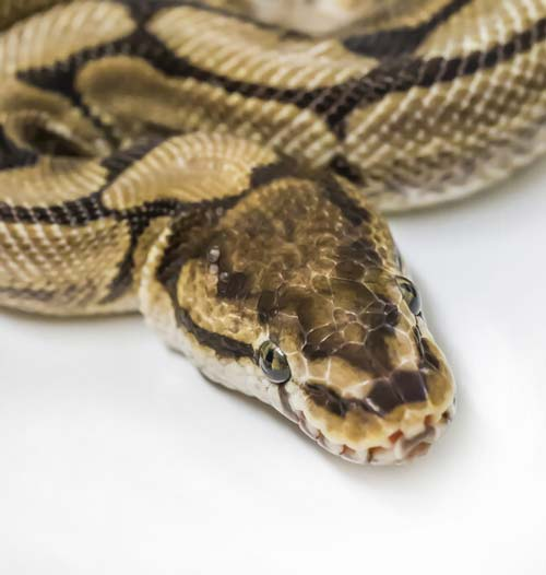 spider ball python head