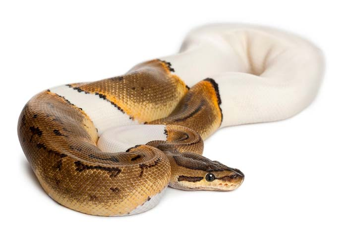 Pied ball python laying on the white ground